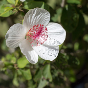 Native Hibiscus at Kalaekilohana Inn & Retreat