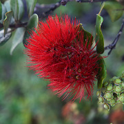 Bright Red Lehua Blossom from the Ohia tree